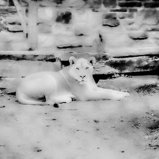 Lioness #6