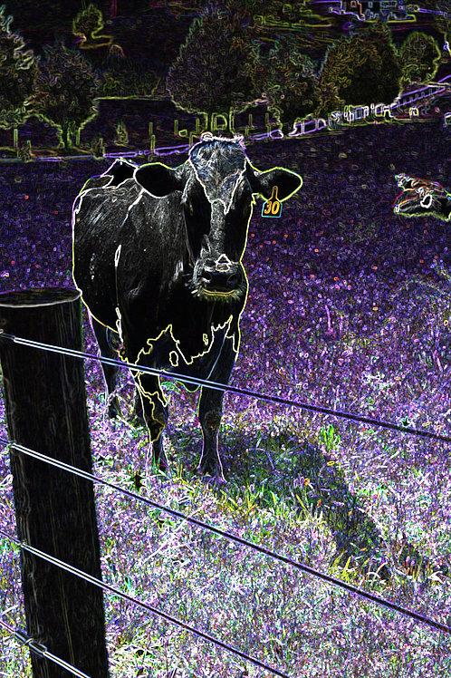 Crazy Cow #5