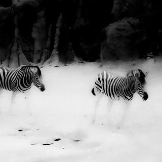 Zebras #2