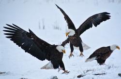 Farmington Eagle 18.jpg