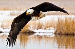 Farmington Eagle 11.jpg