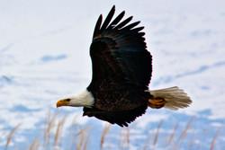 Farmington Eagle 13.jpg