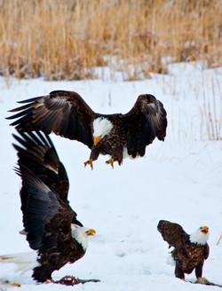 Farmington Eagle 4.jpg