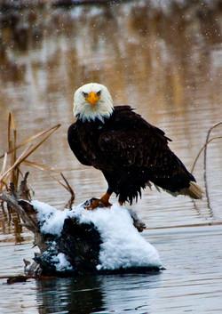 Farmington Eagle 19.jpg