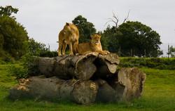 Lion1.jpg