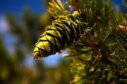 Pine Cone1.jpg
