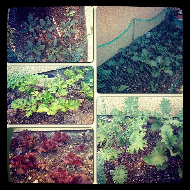 Got greens_ More baby kale, lettuce and celery