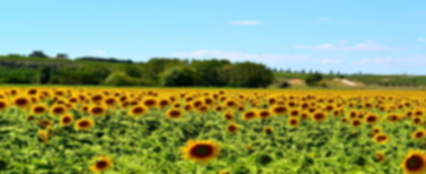 Sugestões_3._TOSCANA_-_sunflowers-n7zqpu