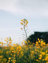 Kwiaty Musztardy