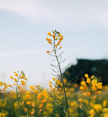 Mosterd bloemen