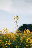 マスタードの花