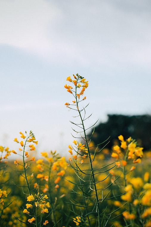 a field of mustard flowers