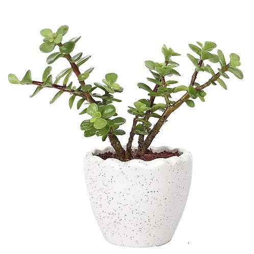 Jade Bonsai Lucky Jade in Classic Ceramic Planters