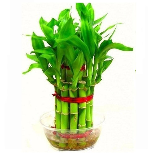 Lucky Bamboo 2 Layer Plant
