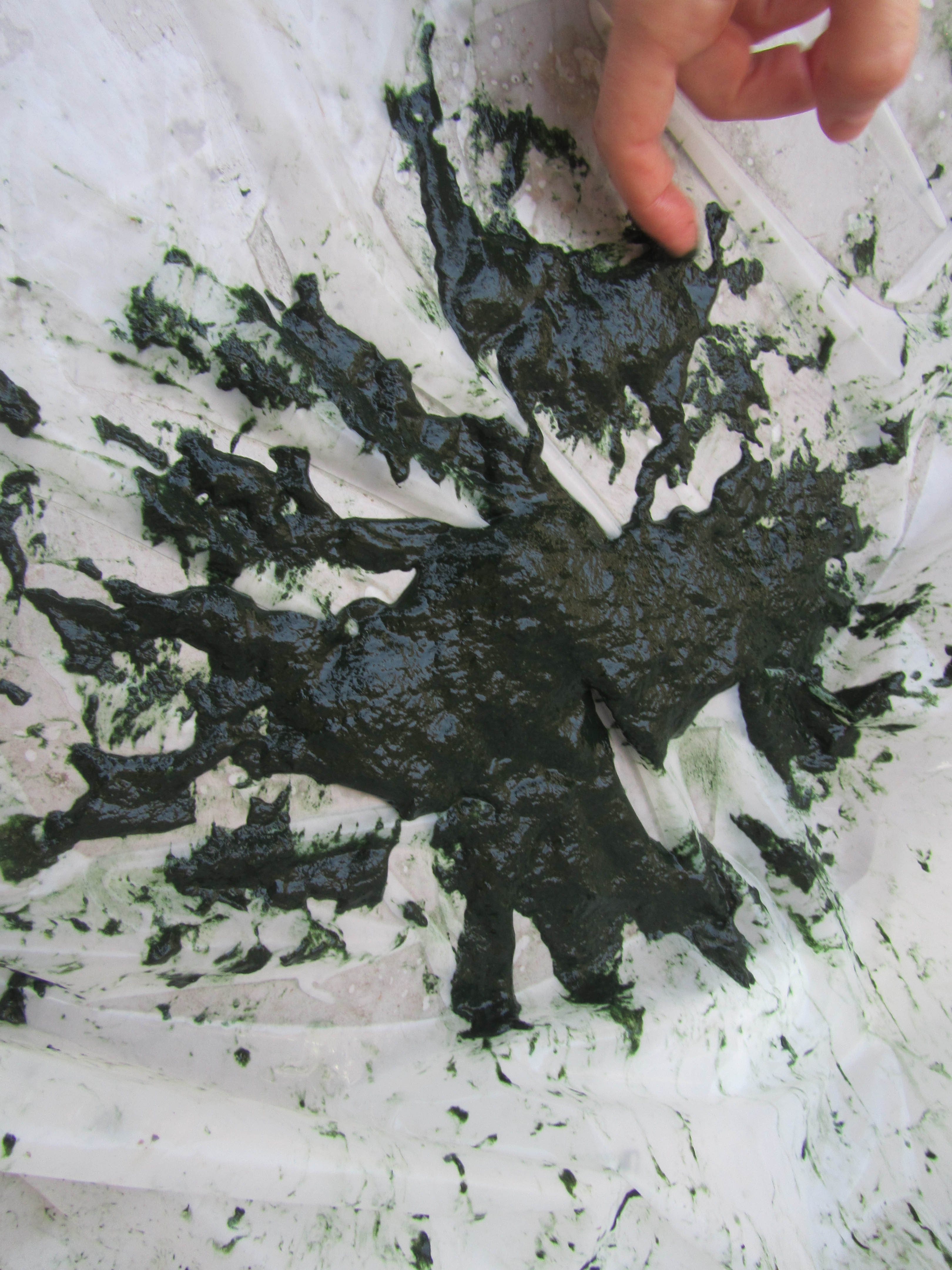 Spirulina harvesting filtered algae