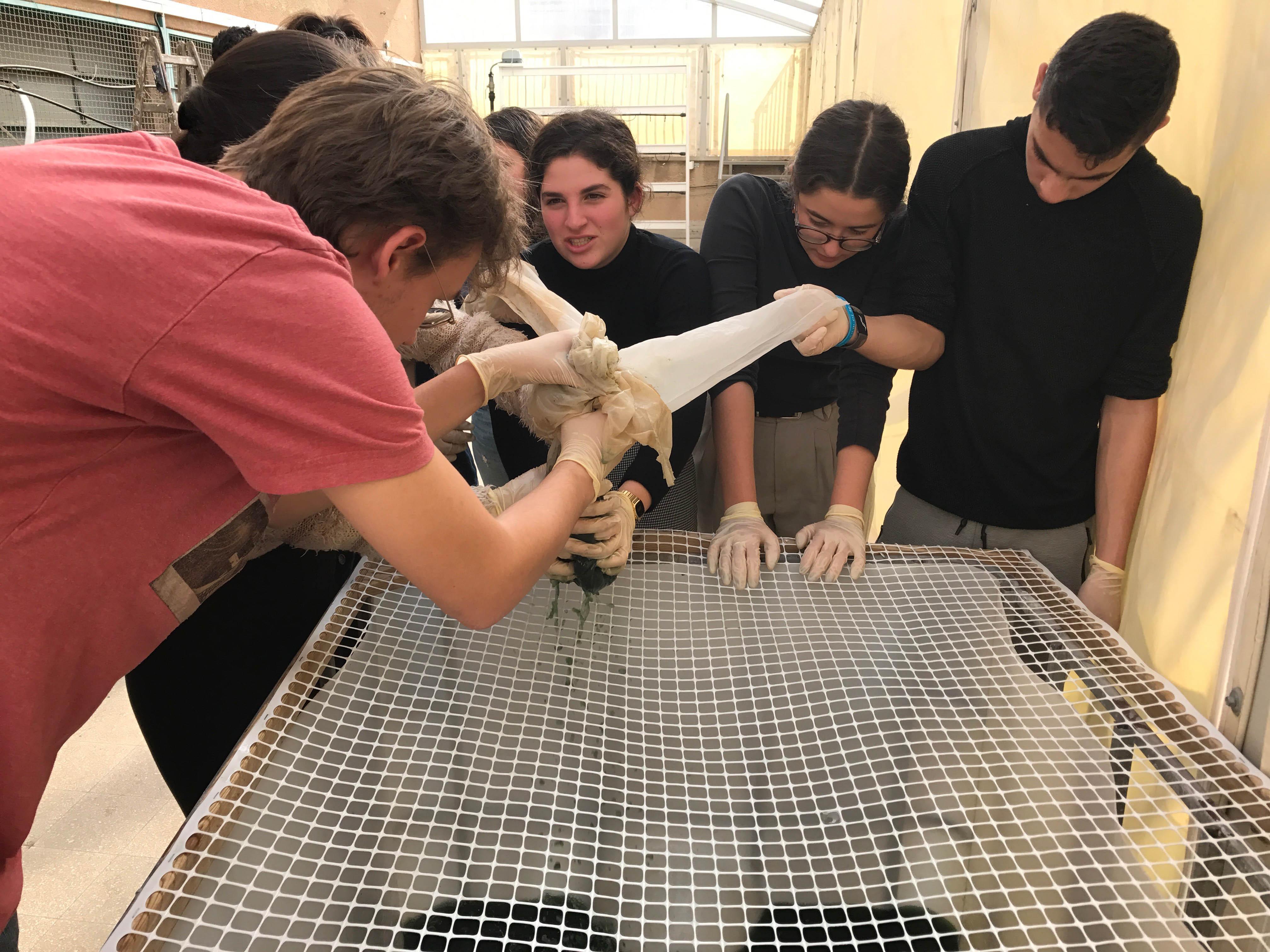 Students placing spirulina on net