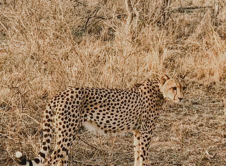 """You walked next to a cheetah?!"""