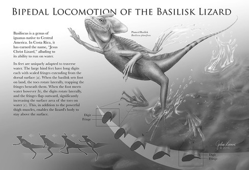 Pipedal Locomotion of the Basilisk Lizard