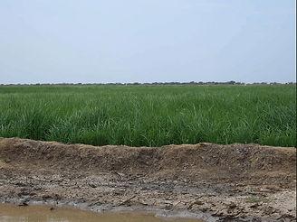 champ de riz vert.jpg