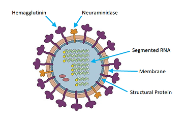 02_influenza_virus.png