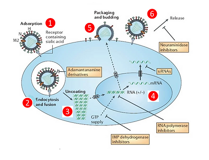 02_influenza_lifeCycle.png