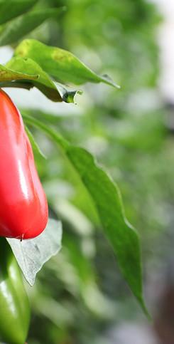 Habanero Pepper IdealHarbest