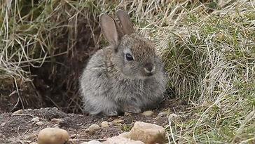 Wild Baby rabbit.jpg