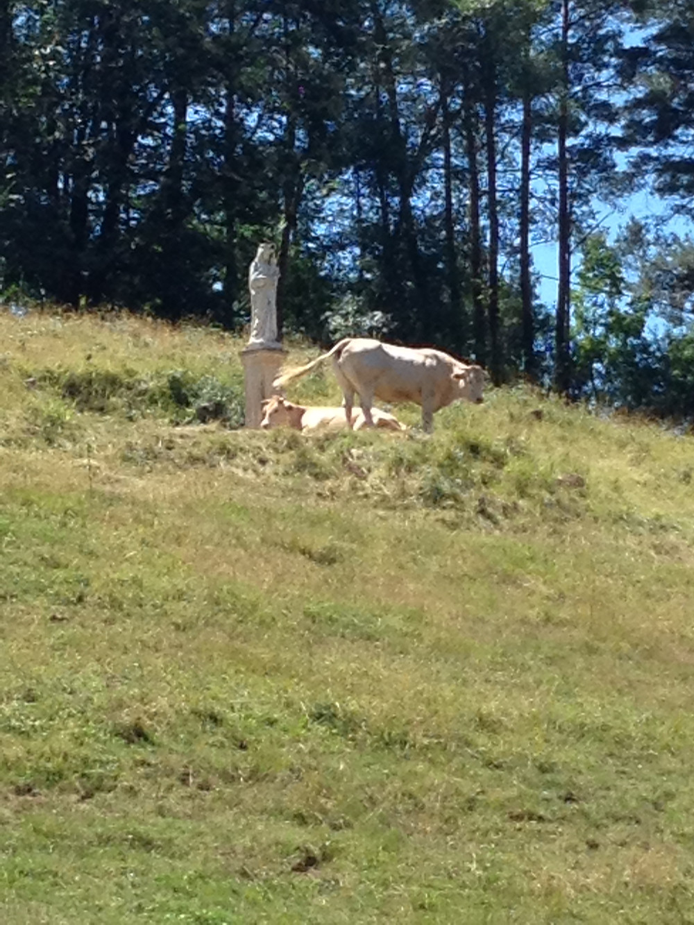 Peaceful Charolais in the Bessed Forest