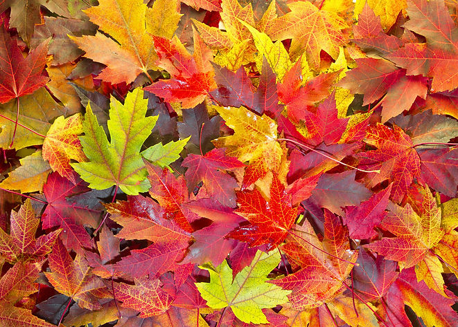 Maple-Colors.jpg