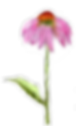 Echinacea Blume PNG.png