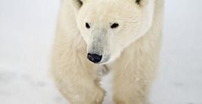 Churchill im Herbst: Arktische Safari zu den Eisbären der Hudson Bay