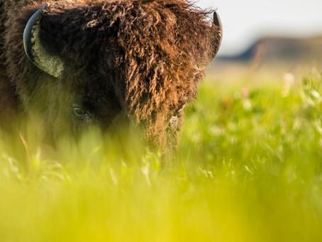 Ein letzter Rest ursprünglicher Prärie: Saskatchewans Grasslands National Park