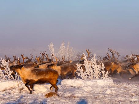Wo Weihnachtsmärchen wahr werden: Santas Rentier-Truppe in der Western Arctic