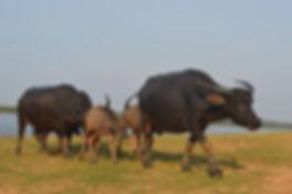 Wasserbuffel Familie