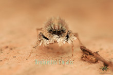 New observations of the jumping spider Neobrettus tibialis (Araneae: Salticidae: Spartaeini) in West