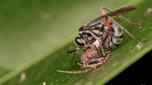 A Spider Wasp nicely maintain the philosophy with just two words, SUSTAIN and ABSTAIN