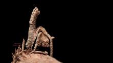 Tree Stump Spider (Poltys illepidus) – a camouflage Master!