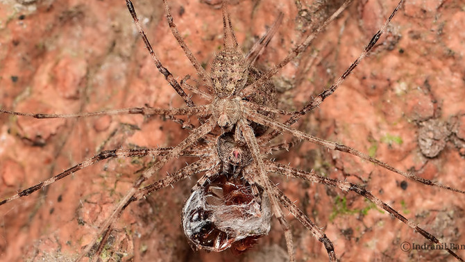 A unique mating ploy by male two-tailed-spider !!!
