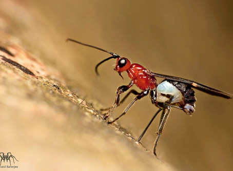 Ichneumon Wasp -a unique initial journey of Life!