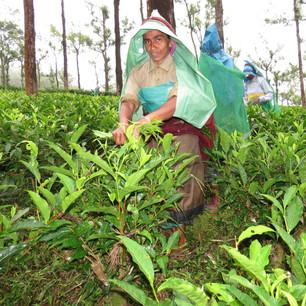 Teeernte in Poabs Demeter Tee und Kaffee Farm in Südindien