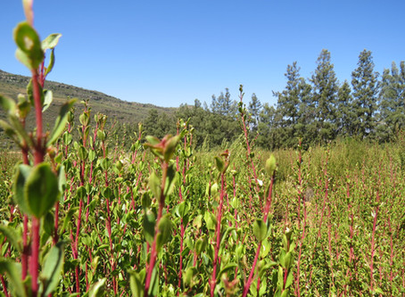 Organic in South Africa - All about Organic Buchu & Rooibos
