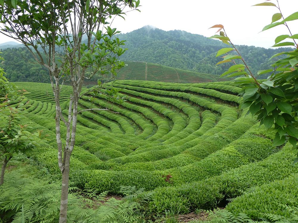 tea garden, China