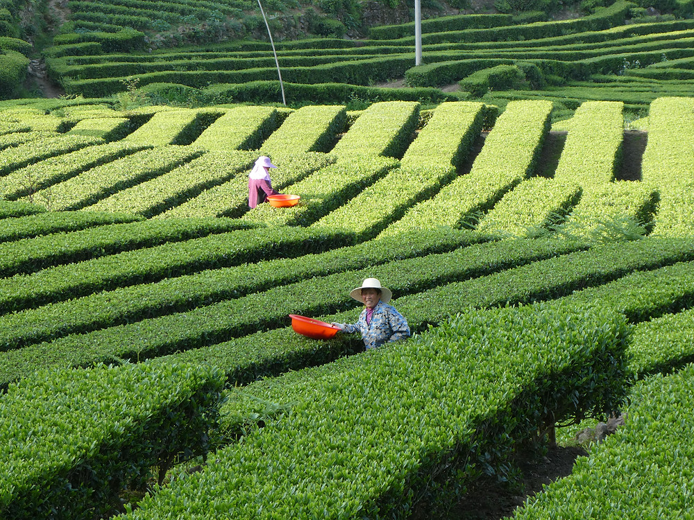 tea pickers in China