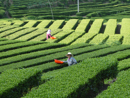 China´s Passion for organic green tea