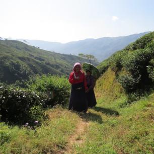Teepflückerinnen in Darjeeling