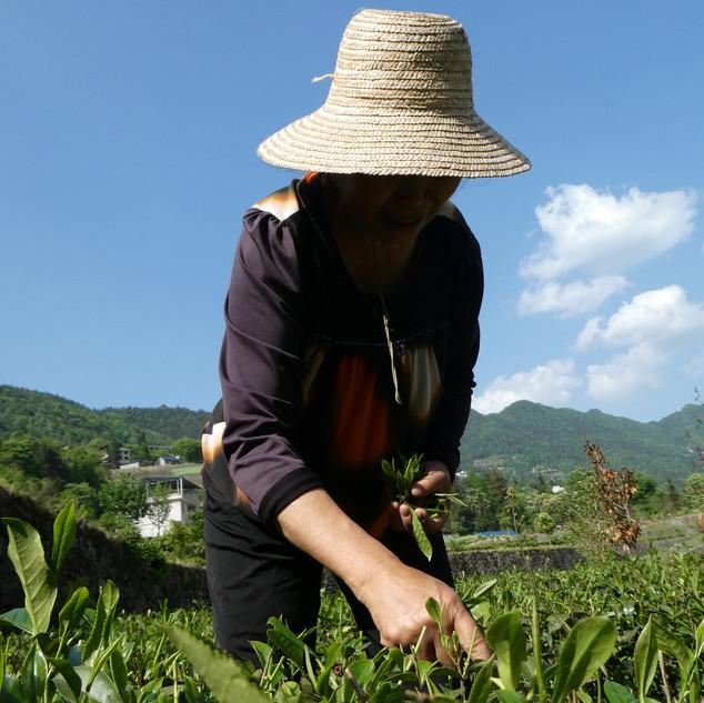 Smallholder tea farmer in China .JPG
