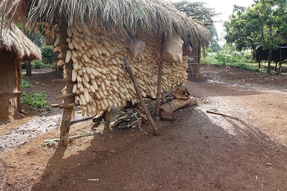 Maistrocknung bei äthiopischen Kleinbauern