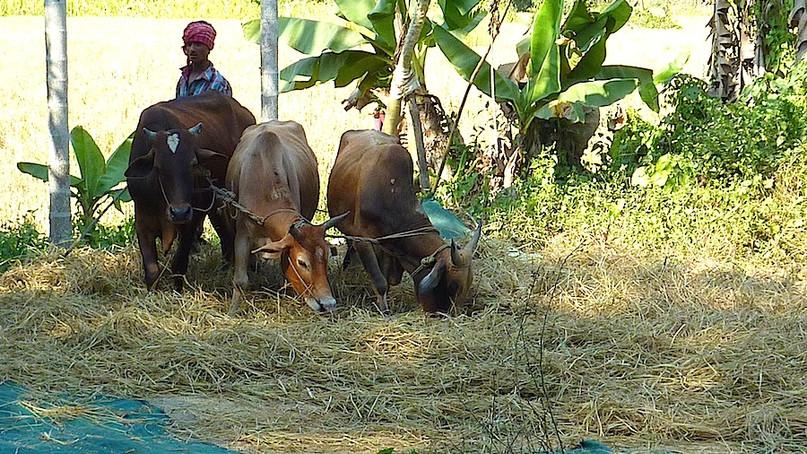 Bauer beim Dreschen in Südindien.jpg