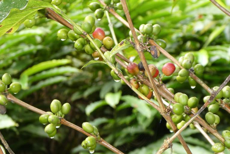 Coffee berries.JPG