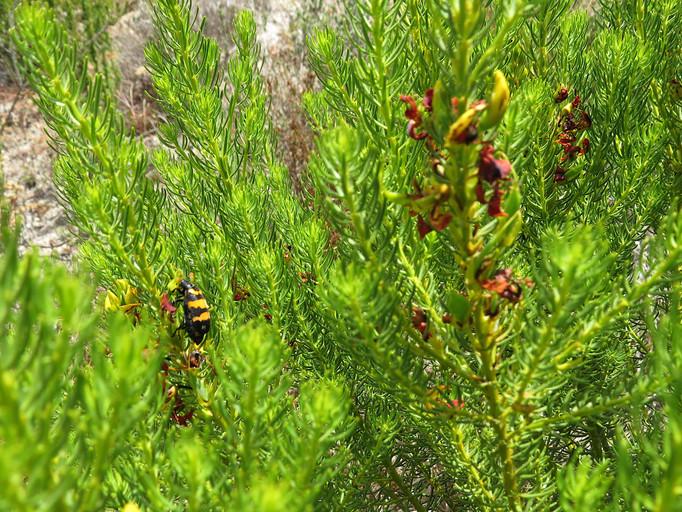 Honeybush.JPG